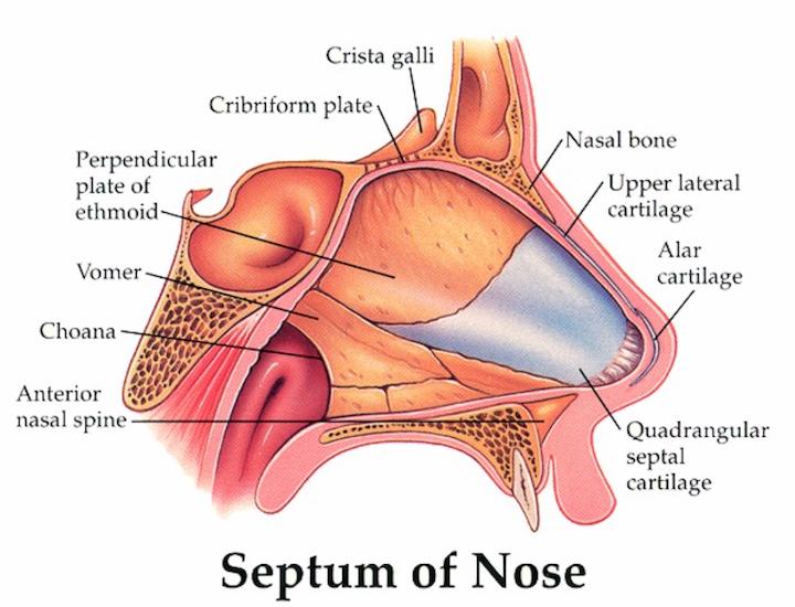 Septum of Nose